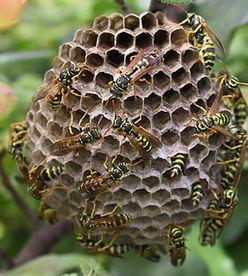 un essaim d 39 abeilles est arriv dans votre jardin et vous ne savez que faire pour vous en. Black Bedroom Furniture Sets. Home Design Ideas